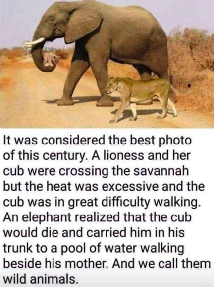ElephantCarriesLionCubWithMotherToWater