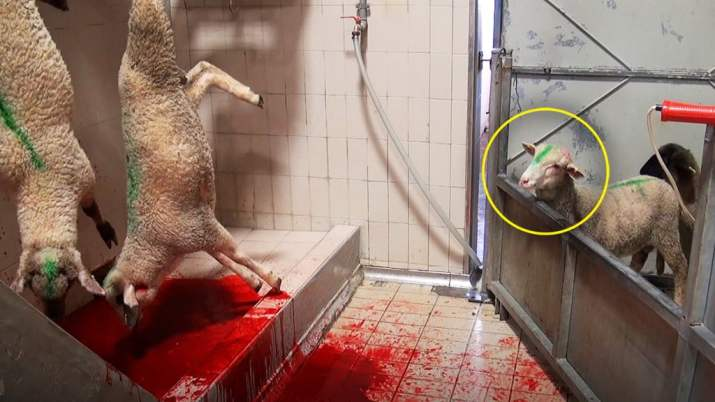 sheep-watches-friends-get-slaughtered-1024p